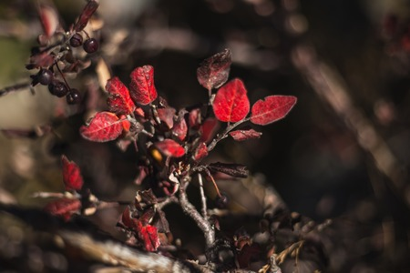 Dark berries and bush with red leaves Stock Photo