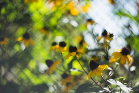 Yellow heliopsis flowers. Natural sunlight. Bright spring colors.