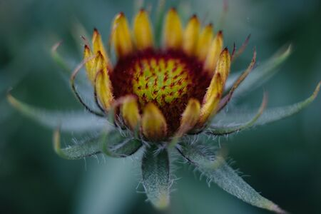Closeup of a garden flower in bud. Flower on a blurry background.