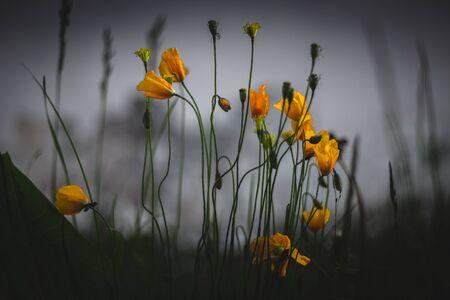 Alpine poppy in the natural environment. Closeup of yellow wild poppies. Alpine flowers. 版權商用圖片