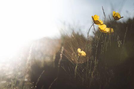 Alpine poppy in the natural environment under the bright sun 版權商用圖片