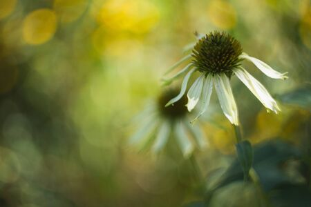 Closeup of a garden flower with open petals. Flower on a background of blurry green leaves. Closeup of white chamomile. 版權商用圖片