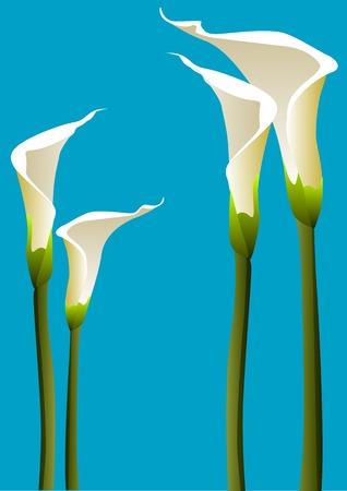 Vector illustration of 4 calla lillies