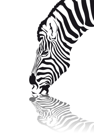 reflection in water: Abstract vector of an african zebra drinking water