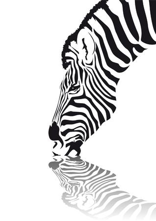 caballo bebe: Resumen de vectores de una cebra africana agua potable  Vectores