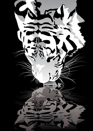 tigre blanc: R�sum� illustration vectorielle de boire un tigre