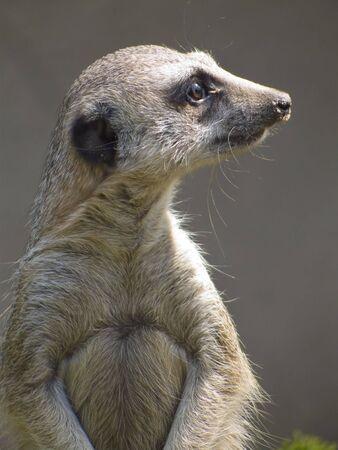 nosey: Close-up photograph of a nosey meerkat Stock Photo