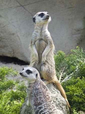 omnivore animal: Close-up of two nosey meerkats