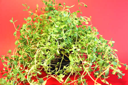 Thyme bush growing in an old Chinese teapot, on a table against a red background