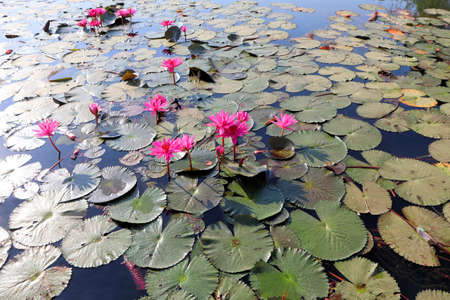 Pink lotuses on the water, beautiful plants in the tropics, sacred plants