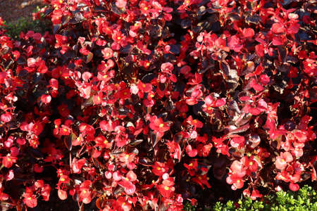 Red flowers on flower beds in the park, beautiful plants autumn walk in the park 写真素材