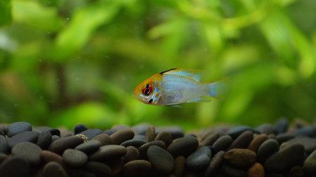 aquarium hobby: Electric Blue Ramirez Stock Photo