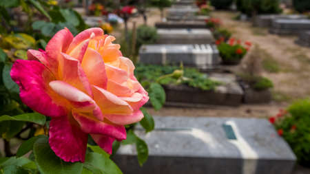 Nuremberg 2019. Red rose in front of the burials in the monumental cemetery of St. John's. August 2019 in Nuremberg. Editorial
