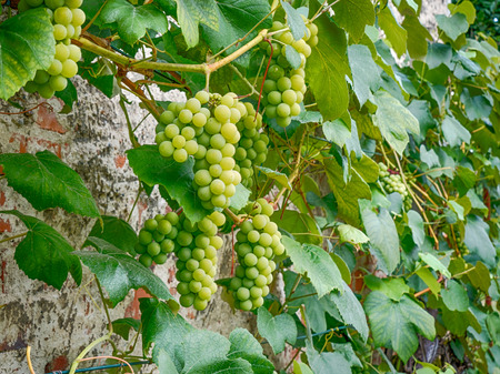 bunches of grapes ripening on the bush