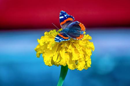 lantana: Butterfly on flower