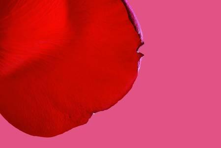 rose petal closeup photo
