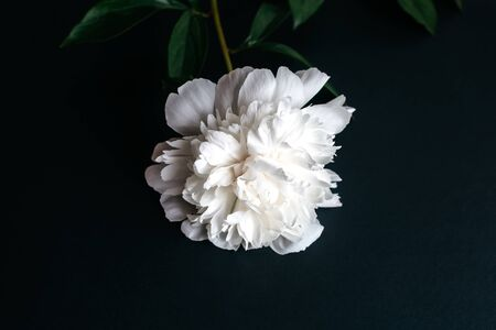 White peony with green leaves lies on a black background.