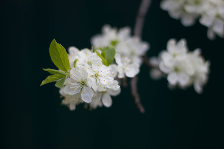 White branch of a flowering Apple tree on a dark background. Apple flowers close-up. The cherry blossoms on a black background