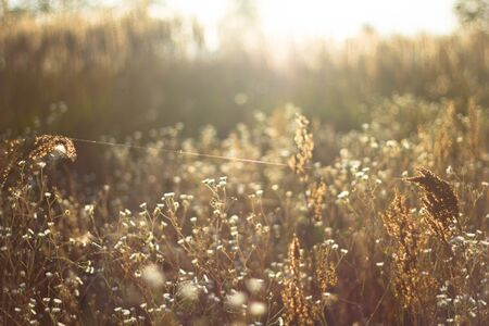 Chamomile pharmacy in the rays of the sunset in the autumn close-up. Web in Romashkovo field in Golden sunlight.