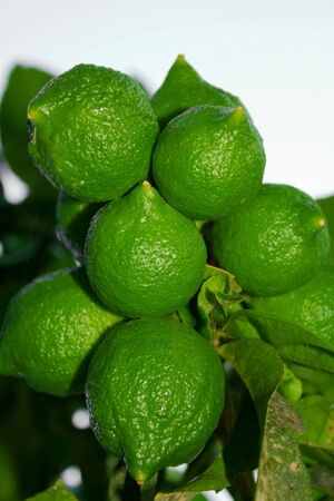 Ripe green limes grow on a branch. Close-up of lime. Citrus fruit hanging on a branch. Useful food for vegetarians.