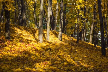 Beautiful autumn maple leaves on the forest floor and yellowed trees in a colorful grove. Autumn landscape yellow-orange trees with black trunks