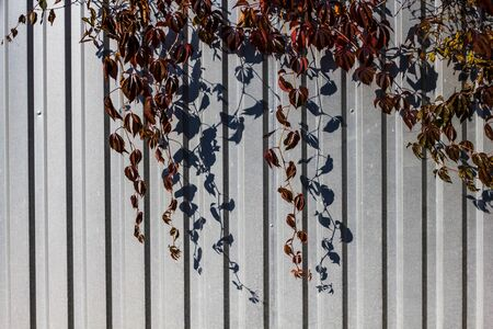 Maiden grapes maroon on a gray metal fence on a Sunny day. Climbing plant in autumn. Parthenocissus quinquefolia. Reklamní fotografie