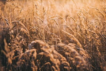 Natural beautiful background. Dry Golden grass covered with frost in the sun at sunset in autumn. Close up. Sunset on the background of the autumn field.