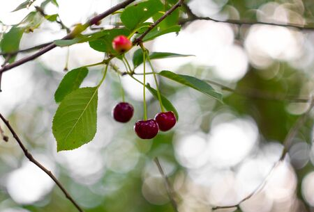 Ripe red cherry on a tree branch on a background of green foliage and beautiful bokeh. Macro cherry. Imagens