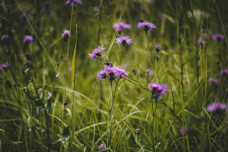 Purple cornflowers in green grass in the field. Many wildflowers. Cornflower rough grows in the field. Centaurea scabiosa