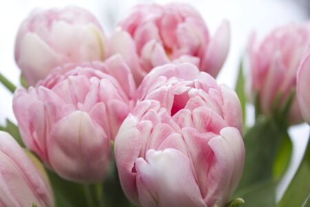 Delicate, soft, delicate pink Tulip with green leaves close-up. Beautiful spring flowers in a bouquet. The variety of tulips foxtrot and candy prince.