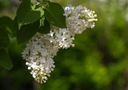 Ein Zweig der weißen Amur-Flieder mit grünen Blättern aus nächster Nähe. Ein schöner Busch aus weißem Flieder. Blumen auf Zweig.