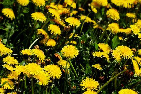 Nature background. Medicinal dandelion. Yellow dandelion flowers close-up. Field of dandelions. Many dandelions on the field background.