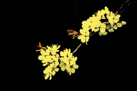 Trendy Color of the year 2021 Illuminating yellow. White branch of a flowering Apple tree on a dark background. Apple flowers close-up. The cherry blossoms on a black background