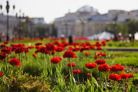 Red tulips on Manezhnaya Square in Moscow. Flower beds in the park in the city center. Manezhnaya Square in the spring. 免版税图像