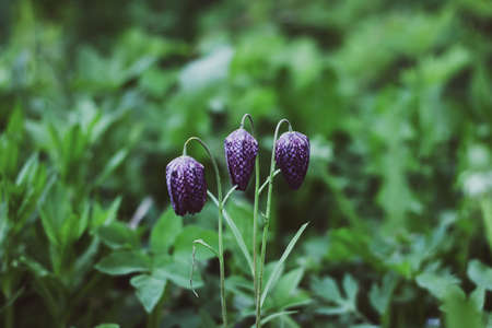 Flower hazel grouse chess. Purple flowers of the chess grouse on the background of green grass. Nature background with copyspace for your text. 免版税图像