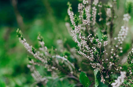 Blooming heather Calluna vulgaris on a green background. Nature background. Blurry abstract defocuse heather on a nature background copy text space.