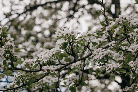 Blooming Apple tree. White Apple blossoms on a branch close-up. Nature floral background. Live wall of flowers in a spring garden. Copy space.