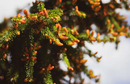 Blooming spruce. Red young shoots on a pine tree. Flowering branch of a fir tree. Young shoots on spruce. 免版税图像