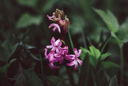 Pink hyacinth on a background of green grass. Nature background. Lilac-pink hyacinth flower. Spring flora blooming hyacinth. Rosalia flower variety. Hyacinth variety China Pink.