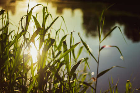 Nature background. Landscape with a ray of sunlight. Green grass close-up against the background of the setting sun and a pond. Nature on sunset, macro.
