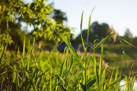 Nature background. Green grass close-up against the background of the setting sun and a pond. Nature on sunset, macro.