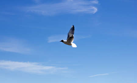 A beautiful seagull on a blue sky background on a sunny day. Volga white gull.