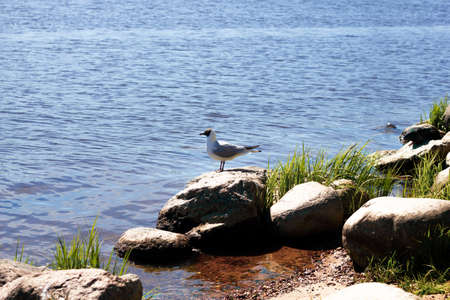 Seagull on a rock on the river bank on a sunny day. The river bank.