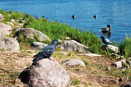 A pigeon on a rock on the river bank. Birds on the sunny beach near the water.