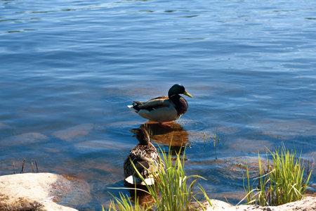 Ducks on the rocks on the river bank. Birds on the sunny beach near the water. 免版税图像