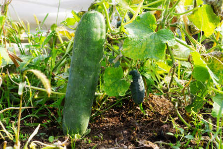 Giant green cucumber in the garden bed. Delicious healthy vegetable cucumber. Organic food for vegetarians.