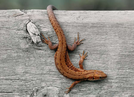 Viviparous lizard close-up. Brown beautiful lizard on a wooden background macro photography. Lizard is sitting on a tree.
