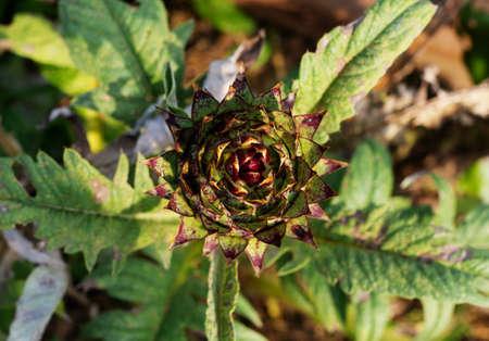 Artichoke close-up. Green artichoke grows in the garden. Healthy food for vegetarians. Green Jerusalem artichoke photo close-up. Top view. 免版税图像