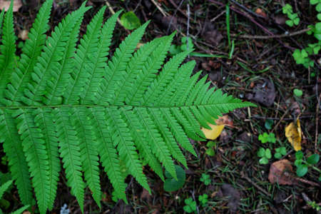 Fern leaf close-up. Green fern in the forest. Top view. Beautiful fern background.