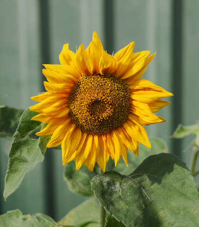Yellow sunflower on a green background close-up. Sunflower flower is isolated. Beautiful nature background. 免版税图像